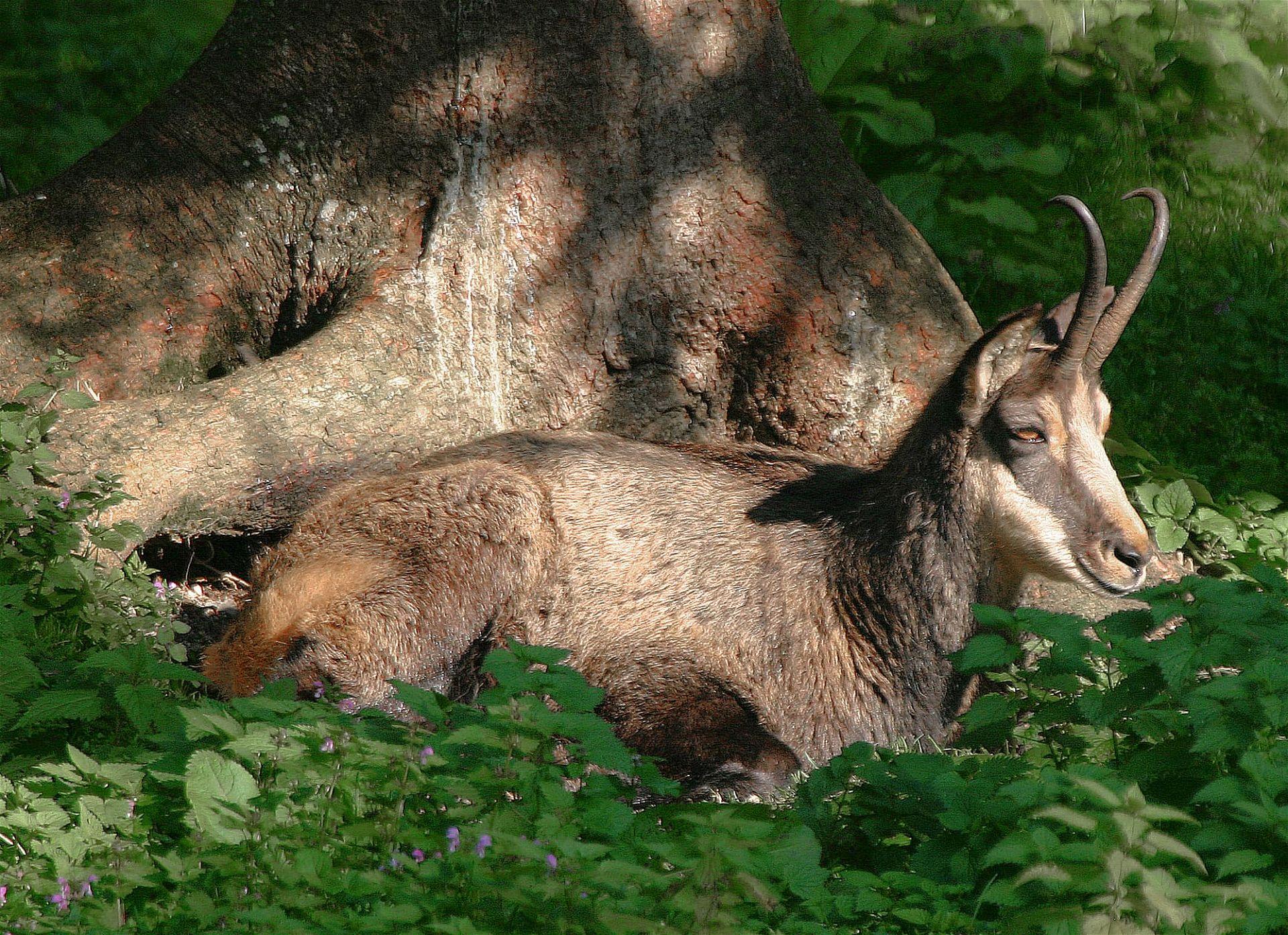 Eine Gämse im Wildnisgebiet Dürrenstein