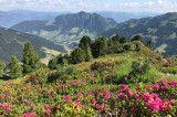 Almrosenblüte Alpbachtal