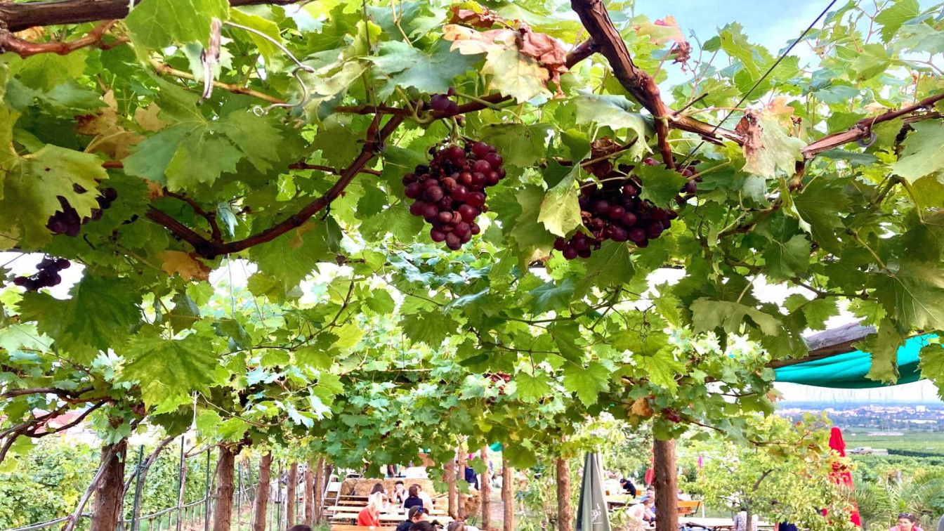Heurigen Weinreben