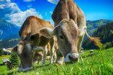 Kühe Lustige Geschichten Land