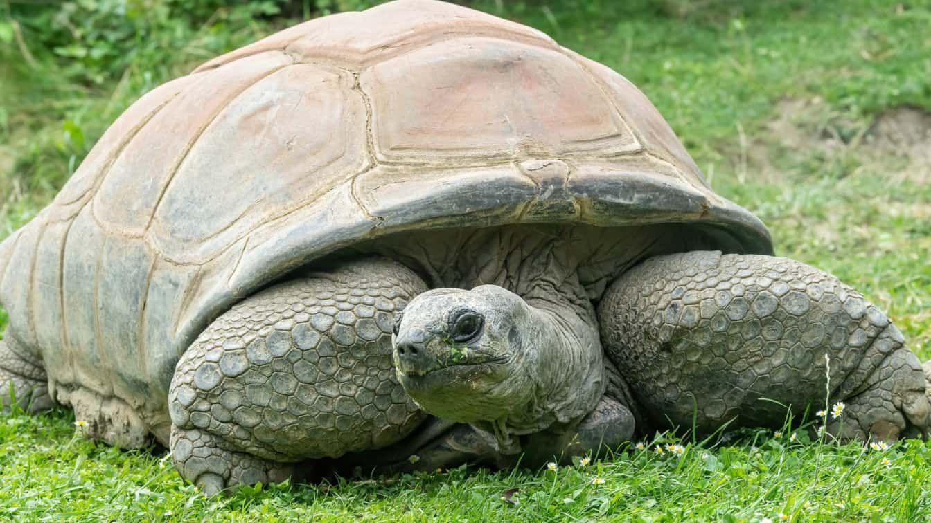 PA Riesenschildkröte Schurli Schönbrunn (c) Daniel Zupanc