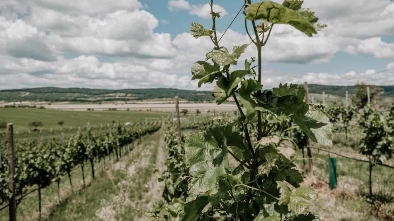 Ein Weingarten im Burgenland.