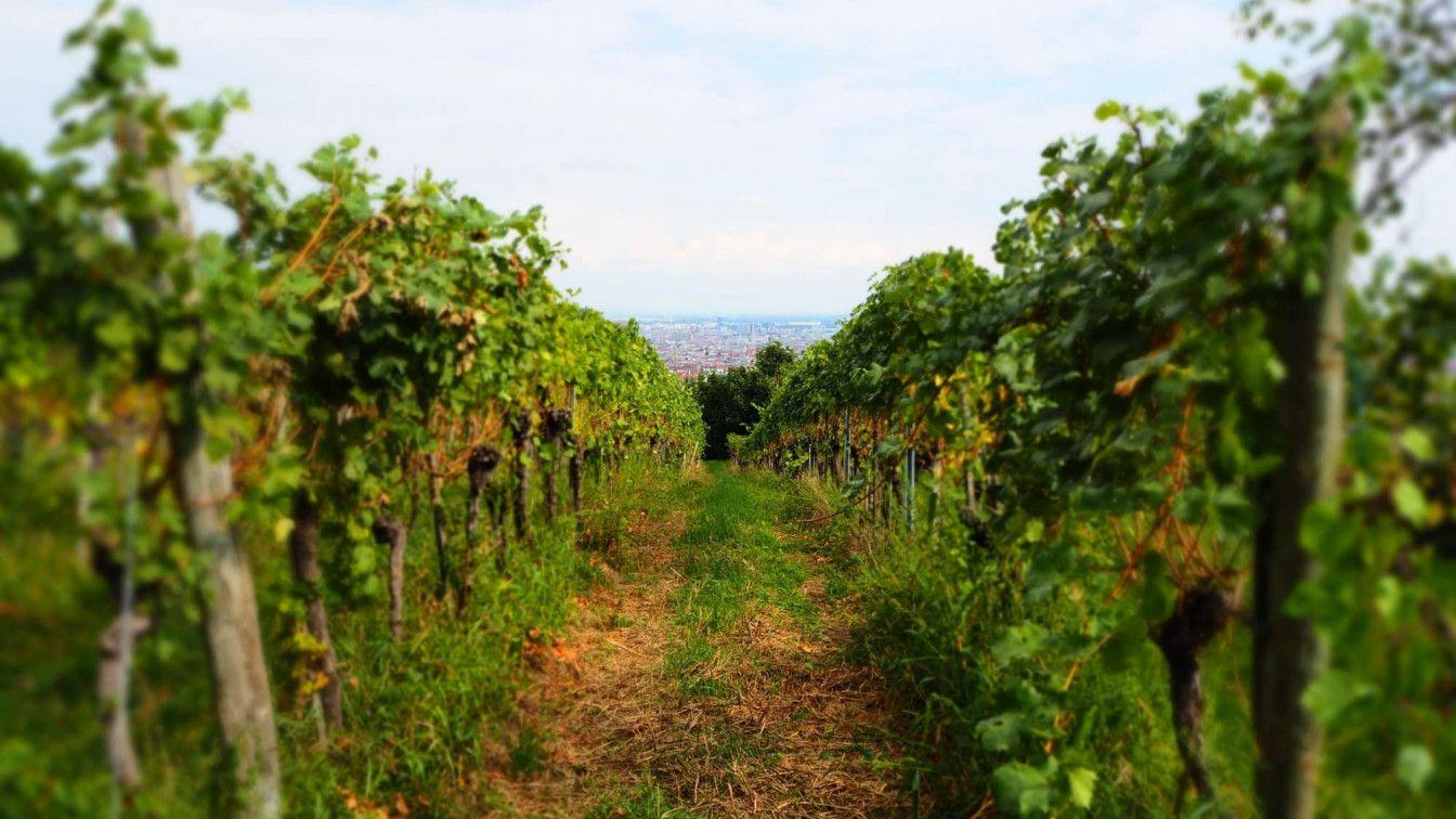 Wilhelminenberg Wein