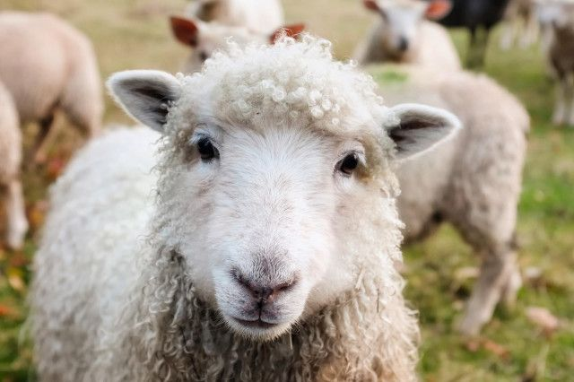 Schafe Donauinsel