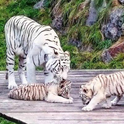 Weiße Tiger Kameltheater